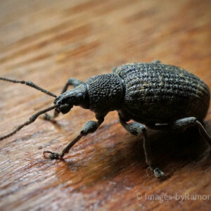 Black Beetle - spotted crawling across my window sill; after his 'photo shoot' I released him outside :)