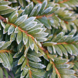 Frosty Evergreens